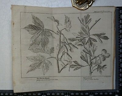 1776 - The Greater Maple & The Lazarole Engraving, Pluche, Spectacle of Nature