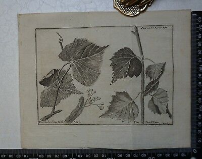 1776 - The Linden Tree & Birch Tree Engraving, Pluche, Spectacle of Nature