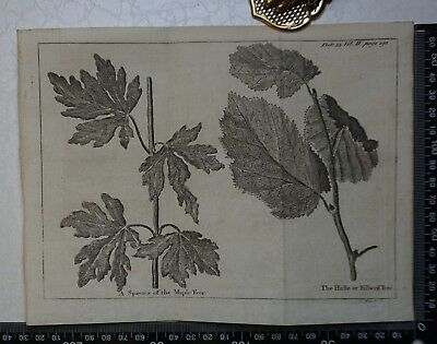 1776 - Species of Maple  /Filberd Tree  Engraving, Pluche, Spectacle of Nature