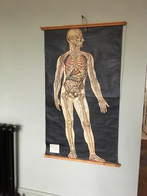 Adam Rouilly Vintage Medical Anatomical Poster