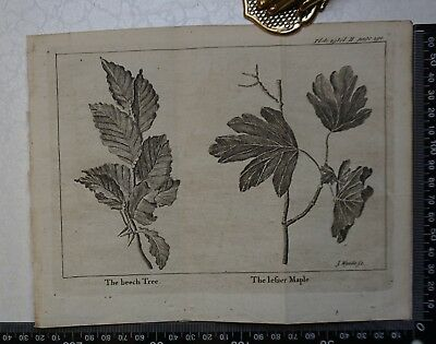 1776 - The Beech Tree & Lesser Maple  Engraving, Pluche, Spectacle of Nature