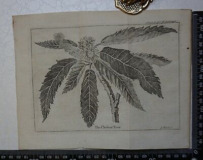 1776 - The Chestnut Tree  Engraving, Pluche, Spectacle of Nature