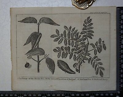 1776 - The Service Tree & Cornel Tree  Engraving, Pluche, Spectacle of Nature