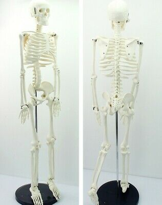 85cm Human Anatomical Anatomy Skeleton Medical Teaching Model +Stand Fexible