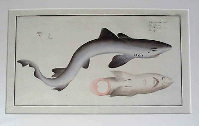 Shark. Engraving. 1785.