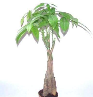 6 Inch Money Tree Caudex Feng Shui Plant Bonsai Usa Free Ship