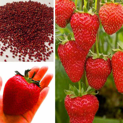 Climbing Red Strawberry Seeds Heirloom Red Strawberry New Fruit Plant Seeds Red