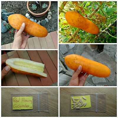 Cucumber ''Red Hmong'' ~15 Top Quality Seeds - EXTRA RARE - Organic Variety