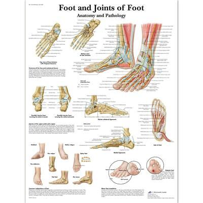 3B Scientific Human Anatomy - Foot And Joints Of Foot Chart, Laminated Version