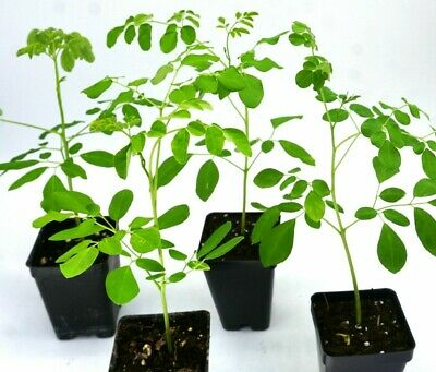 """live moringa saplings: LOT of 4 well rooted saplings  50 days old and  10"""" tall."""
