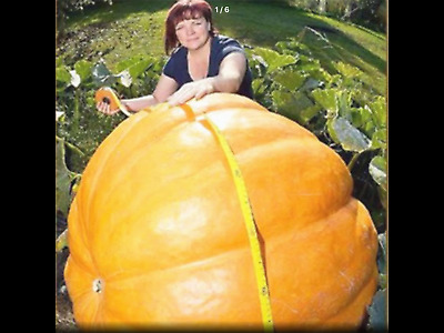 BIG PUMPKIN DILLS ATLANTIC GIANT Vegetable Seeds  15 FINEST SEEDS
