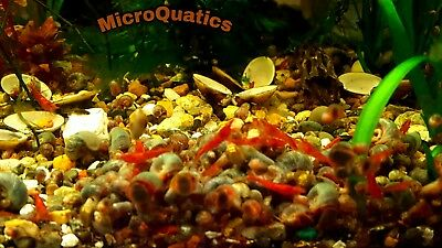 10 + 2 Red Cherry Shrimp juveniles (RCS) neocaridina for freshwater aquariums