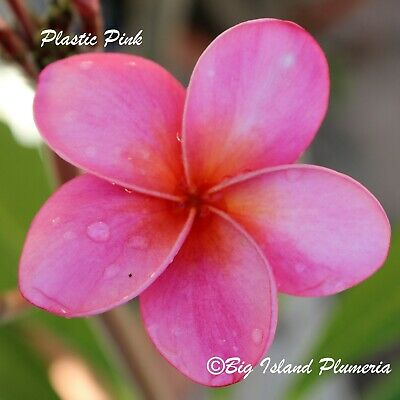 """""""Plastic Pink"""" Rooted Plumeria Plant Cutting-15""""~1 Tip"""