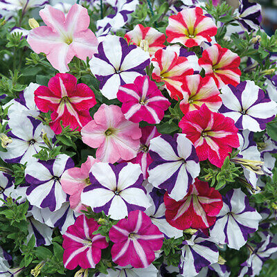 500 Petunia Star Mixed Flower seeds bright colorful CombSH 13M88