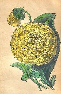 """1846 Hand-Colored THE DAHLIA Botanical Floral 5""""x8""""  BRIGHT Antique ENGRAVING"""