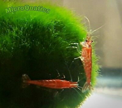 7+2  Red Cherry Shrimps Live Freshwater Aquarium + free guppy grass start