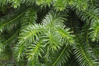 Cunninghamia lanceolata (Chinese Fir) - 25 seeds. Great for Gardens & Bonsai.