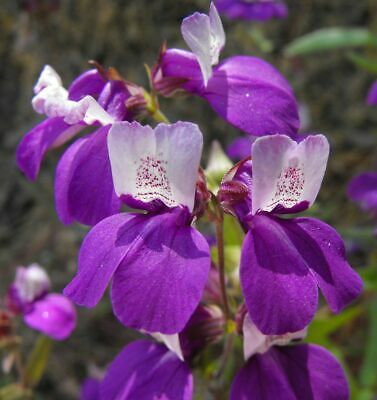 Sensation mix - BEARDTONGUE - PENSTEMON - 1200 seeds - PERENNIAL FLOWER #11042