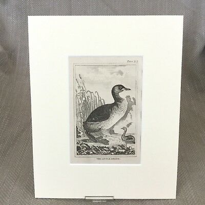 Little Grebe Bird Antique Engraving Print Buffon Plate Natural History 1812