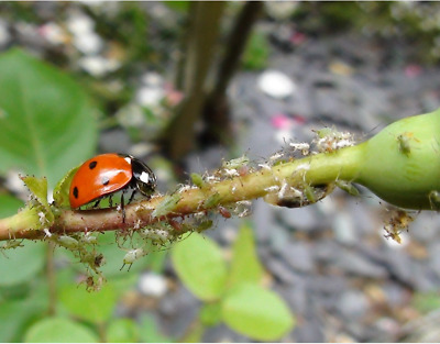 Ladybird ADULTS pack of 25 control pests greenfly blackfly aphids native British