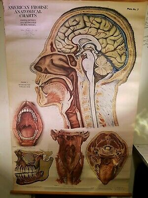 Vintage Anatomical Chart - American Frohse 1919