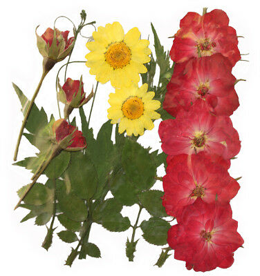 Pressed flowers, red rose yellow marguerite daisy rose buds, rose leaves foliage