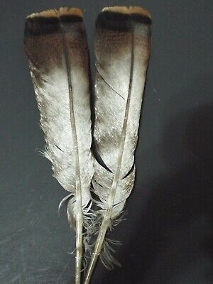 12 #1 ADULT EASTERN WILD TURKEY TAIL FEATHERS// FLY-TYING