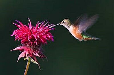 Bee Balm Perennial flower, Save the Monarch,attracts bees 50 seed great for tea