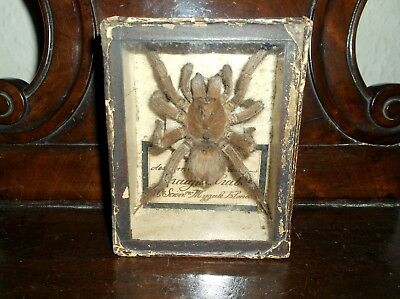 Rare Antique 19Th C Cased French Ex Museum Labelled Taxidermy Tarantula Spider