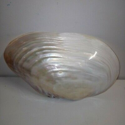 """Giant pearl mussel sea shell. 10+"""" Collector home decor beach #1"""