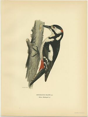 Antique Bird Print of the male great spotted woodpecker by Von Wright (1927)