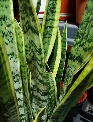 SNAKE PLANT MOTHER-IN-LAW Tongue Sansevieria Plants are 8