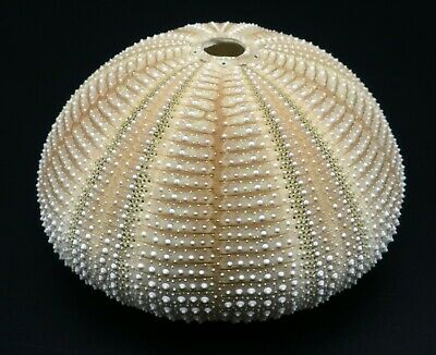 Outstanding size and quality! Salmacis bicolor 70.6 mm Bohol Island sea urchin
