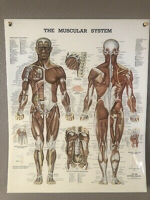 Vintage 1981 The Muscular System Laminated Anatomical Chart Size 20X24