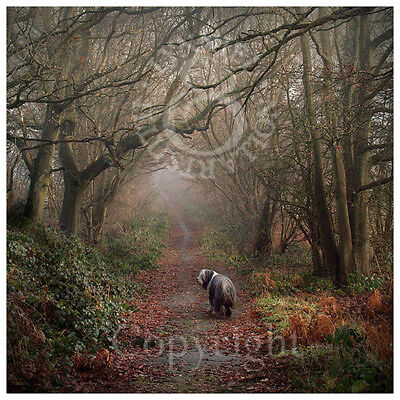 BEARDED COLLIE Beardie Photo art print 'Misty Morning Walk' by Lynn Paterson