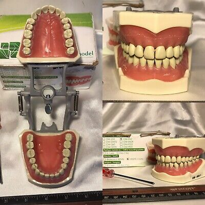 Dentimed DENTAL MODEL OM-860-1 Ivory Adult 32 Teeth Open Box Preowned Student