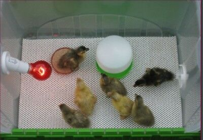 Silver  brooder   Chinese Painted ,Quail, chicken, chicks .ducks