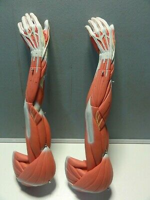 Qty 2 X Human Anatomical Muscular Arm Model ( No  Stand ) 600Mm High