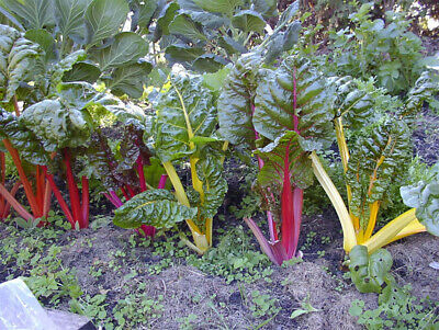 210 Seeds Vegetable Swiss Chard Rainbow Mix 4.5 Gram #6357
