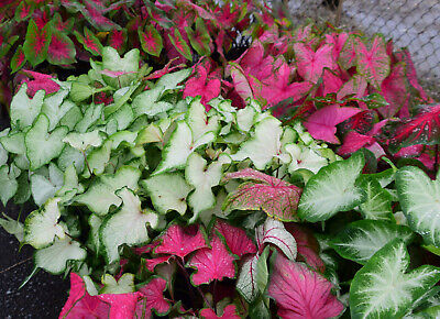 Caladiums - Lot of 10 Bulbs - Assorted Mixed Varieties - Colorful Leaves