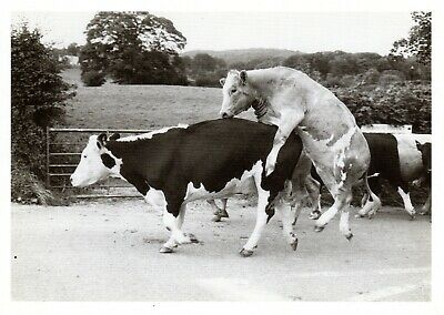 Retro Foto Roff Who Says Cows Don't Fly? Black & Whites Gallery London