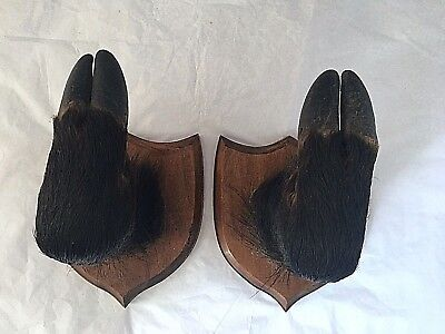 VINTAGE FRENCH TAXIDERMY BOARS HOOF COAT or GUN HOOKS by MARCEL DAUPHIN