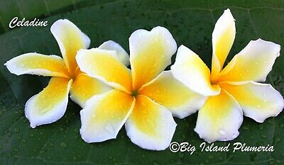 """""""Celadine""""~Small~ Plumeria Rooted Plant Cutting~ 8"""", 1 Tip"""