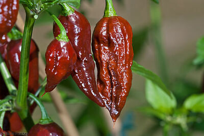 Chocolate Bhut Jolokia Naga Chilli (Ghost Pepper) - UK Seller 100% GENUINE