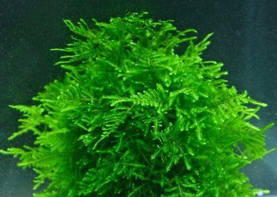 10g - 250g Java Moss DuckWeed Live Aquatic Plant Guppy Shrimp Aquarium Pond UK