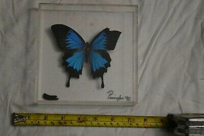 Real Blue Butterfly Papilio Ulysses. In Case. 1992