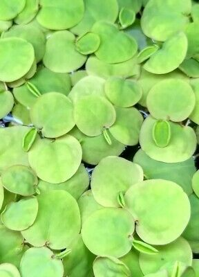 12 Red root floater Phyllanthus fluitans contains no duckweed! Floating plant