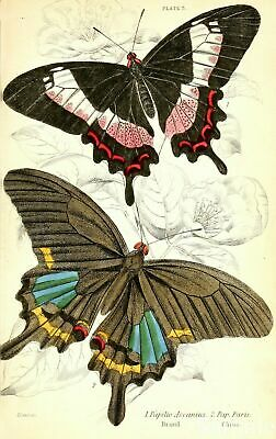 Antique Butterfly Print, Naturalists Library Natural History Repro Art Picture 3
