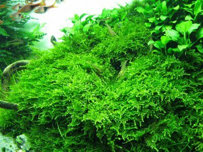 10g - 1 kg Java Moss Carpeting Live Aquatic Guppy Shrimp Aquarium Plant Pond UK