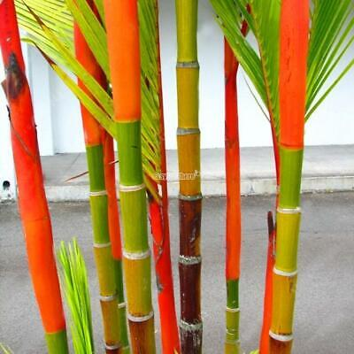 Colorful Phyllostachys Pubescens Moso-Bamboo Seeds Garden Plants EH